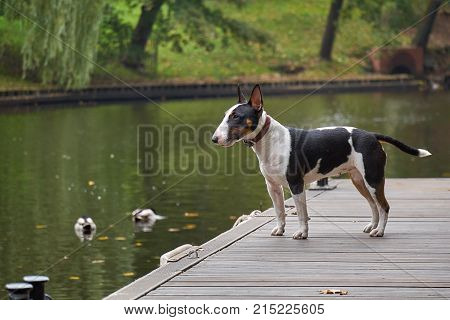 Bull terrier puppy dog on a wooden pier at a lake, copy space detail with selected focus and narrow depth of field