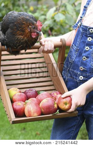 happy free range chicken looking at apples while playing with a child on a smallholding green grass in the background for text overlay