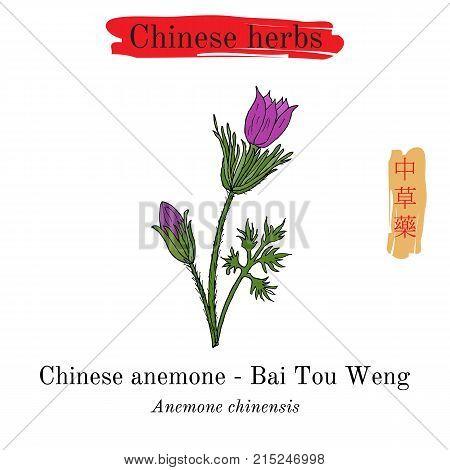 Medicinal herbs of China. Anemone chinensis Pulsatilla chinensis . Hieroglyph translation Chinese herbal medicine