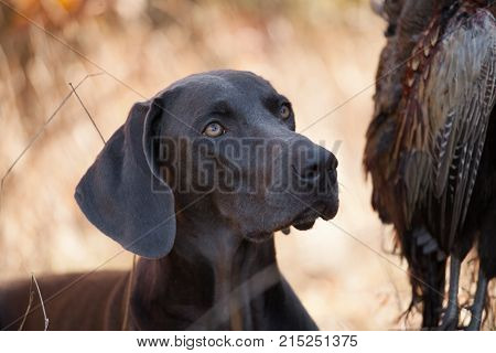 the dog breed Weimaraner is a hunting trophy poster