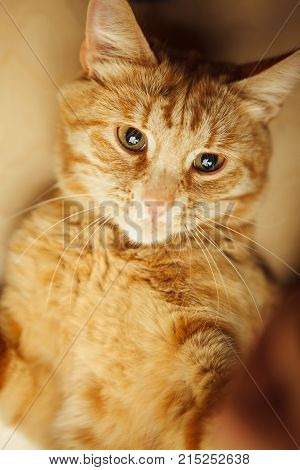 Red cat raised paws up portrait close-up on wooden rufous background. Ginger pet with carroty eyes and watchful ears in relaxing funny posture.Cute kitten lying on his back poster