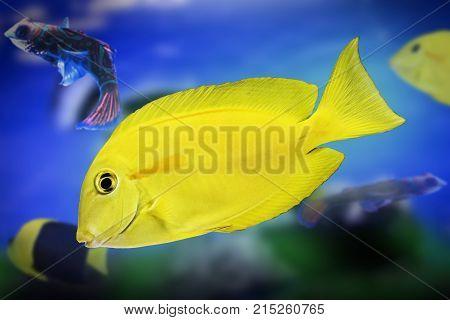 Dwarf angelfish exotic fish yellow wildlife watter animal aquarium