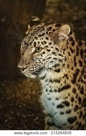 Closeup Portrait of Leopard (Panthera Pardus )