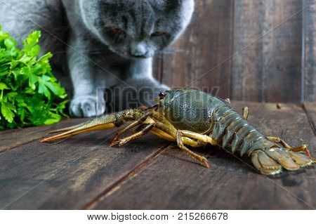 The large crayfish retreats on the wooden table the gray cat carefully looks at it wants to eat prey.