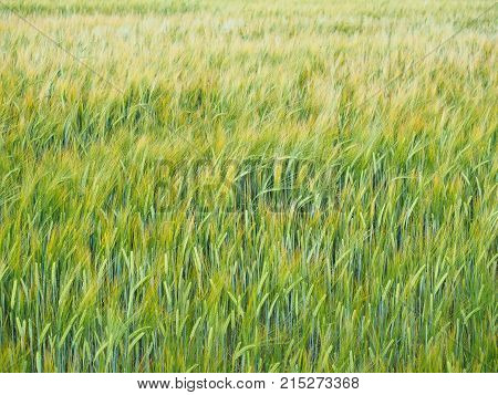 Beautiful, ripe, yellow wheat on a large field in an excellent, cloudy day at the very end of summer, in August