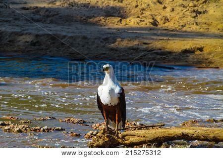 Fisher Eagle on shores of Grumeti River. Serengeti, Tanzania