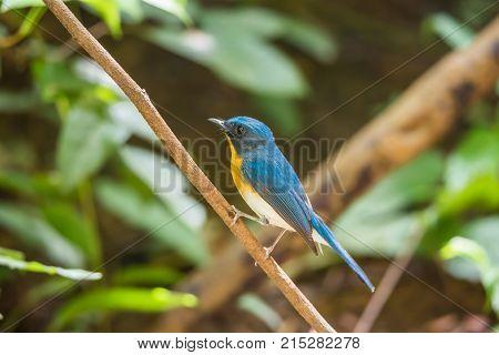 Bird (asian Brown Flycatcher) In Nature Wild