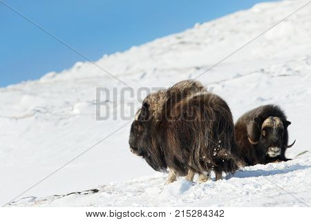 Male musk oxen in the mountains of Dovrefjell in tough winter conditions in Norway