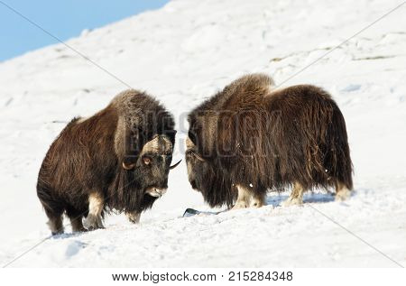 Male musk oxen fighting in the mountains of Dovrefjell in tough winter conditions in Norway