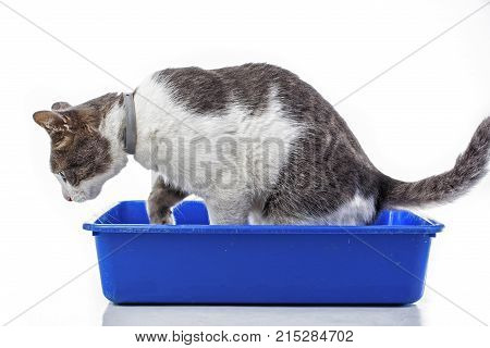 Animal pet cat litter box. Pet in studio. Domestic cat with blue litter box. Blue cat toilet. Blue pet wc with cat.