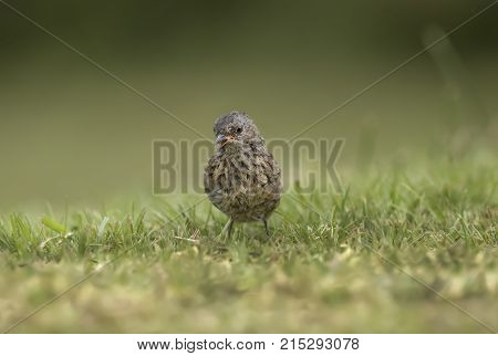 Dunnock On The Grass Looking Forwards Tweeting