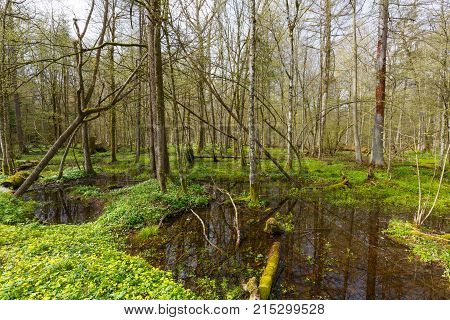 Alder-carr stand in springtime with water and anemone flowering in foreground, Bialowieza Forest, Poland, Europe