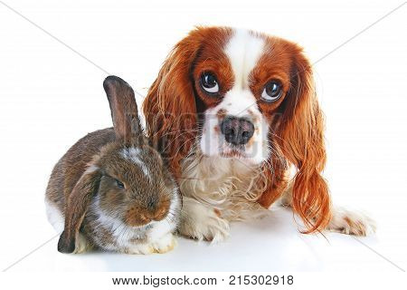 Dog and rabbit together. Animal friends. Rabbit bunny pet white fox rex satin real live lop widder nhd german dwarf dutch with cavalier king charles spaniel dog. Animals together. Christmas Valentines day pet concept. Cute.