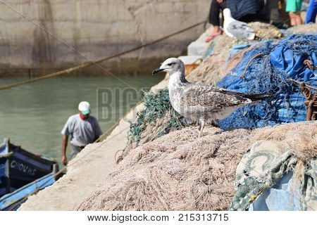 Seagull watching the sea in Essauira port in Morocco