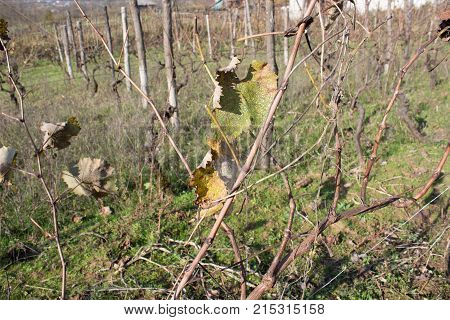 Leaves grapes in the vineyard with nature. autumn vineyard