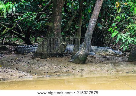Crocodile lurking on the mud banks of the river Kinabatangan. Borneo. Malaysia.