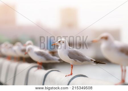 group of Red-gull gulls migrate from cold to warm air