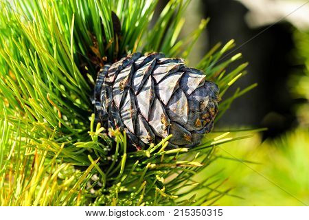 Siberian cedar cone on the branch with bright green needles. Autumn mature purple Cedar cone in the softwood coniferous forest