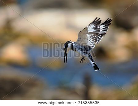 Pied Kingfisher inflight with beak dipped down ready to dive in Lake Malawi Africa