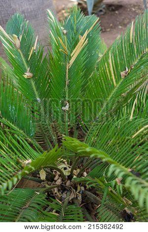 cycas revoluta plant close up japan to java