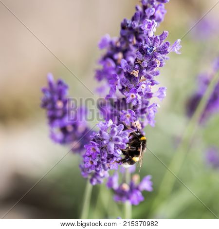 the flourishing lavender in Provence near Sault France