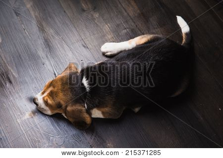 Beagle laying on the parquet taking a nap in home