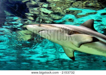 Cruising Shark