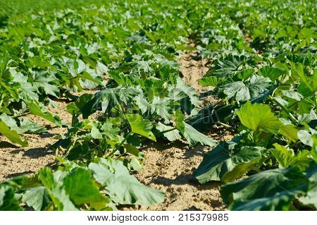 Many Young pumpkin plant on field with sun light in the afternoon at Burgenland Austria
