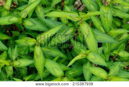 Vietnamese coriander or Persicaria odorata growing in the garden