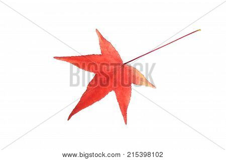 Red American sweetgum leave on white background