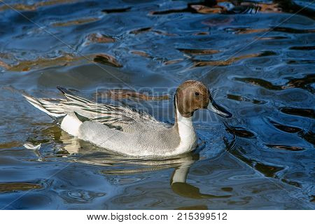 Male Northern Pintail swimming in a pond.