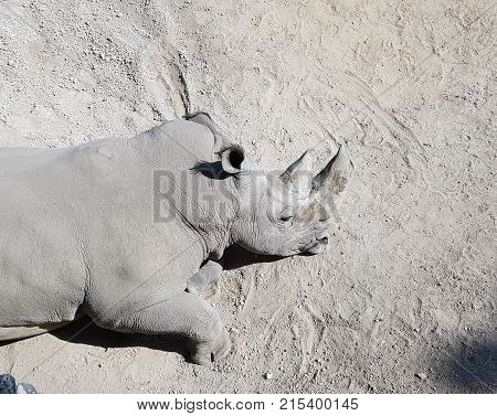 White Rhinoceros Resting In A Zoo, Endangered Species