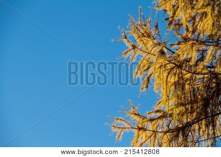 Pine needles in yellow fall colors with the clear blue sky as copy space.