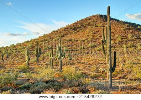 Several saguaro cactus's in the Sonoran desert with a mountain.