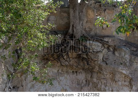 Unusual picture of exposed roots on an oak tree growing on a cliff