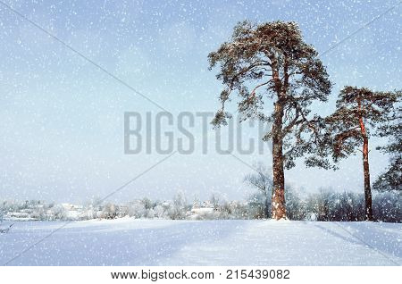 Winter landscape. Frosty pine winter trees in the winter forest and village on the background in snowy winter day. Colorful winter landscape scene with snowfall. Countryside in sunny winter day. Winter wonderland