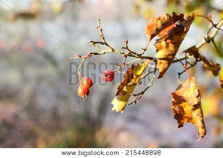 Midland hawthorn or Crataegus laevigata ripe red berries on tree branch in autumn park. poster