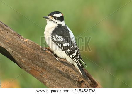 Male Downy Woodpecker (Picoides pubescens) on a branch with a green background