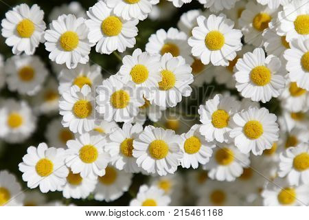Closeup of group of many white Feverfew flowers