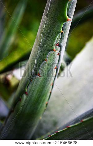 background detail spiky green leaves aloe vera