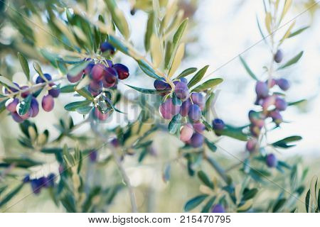 Olive trees garden, mediterranean olive field ready for harvest. Spanish olive grove, branch detail. Raw ripe fresh olives.