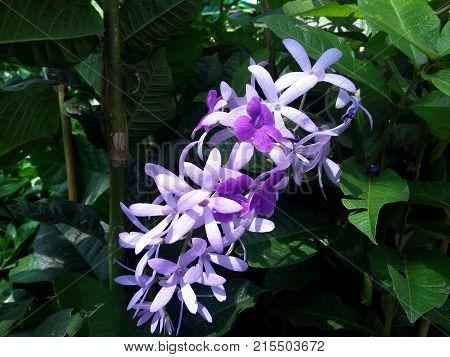 Purple Wreath Queen's Wreath Sandpaper Vine Bluebird Vine ( Petrea Volubilis. Linn.) in tropical garden poster