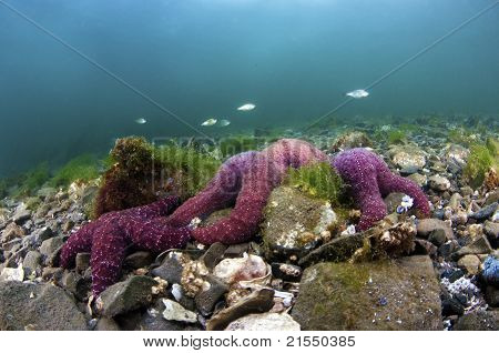 A cluster of ochre sea stars on a rocky bottom poster