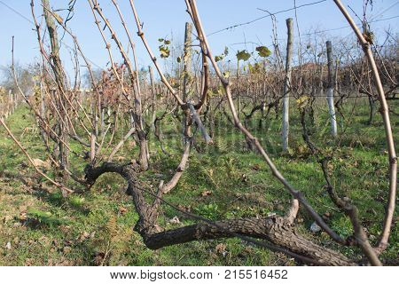 Vineyard at the end of the season & after grape picking. autumn after harvest season