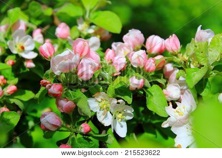 The Apple trees are blooming white flowers. Pink Apple flowers are blooming in sky background. White Apple tree blossoms. The Apple tree twig with white flowers Spring flower background. Apple tree in bloom. Apple blossoms in the sun. Spring pink flowers