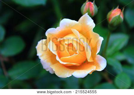 Beautiful big orange rose on blured background. Delicate large orange rose on the bushes. Orange rosebuds. Rose Bush in the garden with bokeh. Caring for garden roses. Wallpaper for desktop, foto for calendar