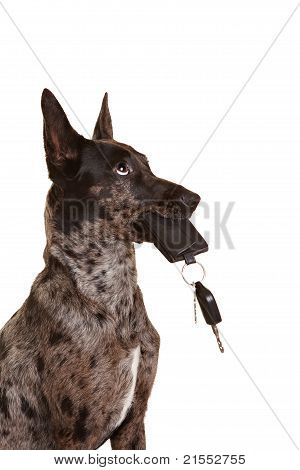 Dog With Car Keys In His Muzzle