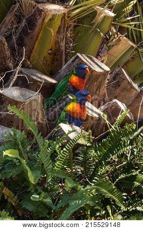 Two Australian native rainbow lorikeet parrot birds sitting in tree