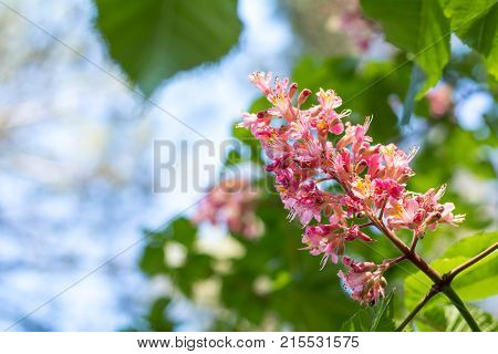 Beautiful Pink Chestnut Blossom