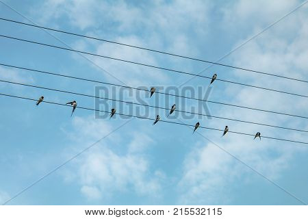 Swallow Birds On Power Lines